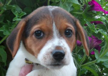 Jennifer, a Jack Russell Terrier puppy, who needs a kind family to look after her.
